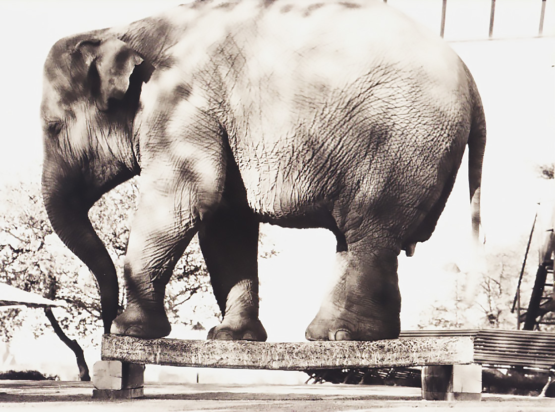 traullit-elefant-1120
